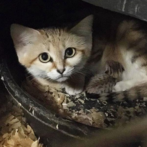 A sand cat kitten was born at the N.C. Zoo last month.