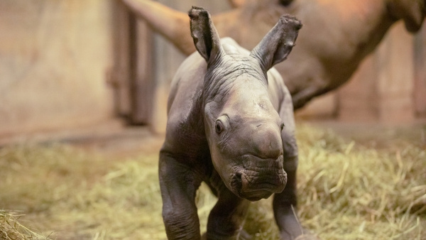North Carolina Zoo announces public poll to help name new baby rhino