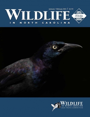 The winning photograph of the 2020 Wildlife in North Carolina Photo Competition was this common grackle taken by Matt Cuda of Tobaccoville with his Sony Alpha a7 III. The photo is featured on the cover of the January/February 2021 WINC issue.