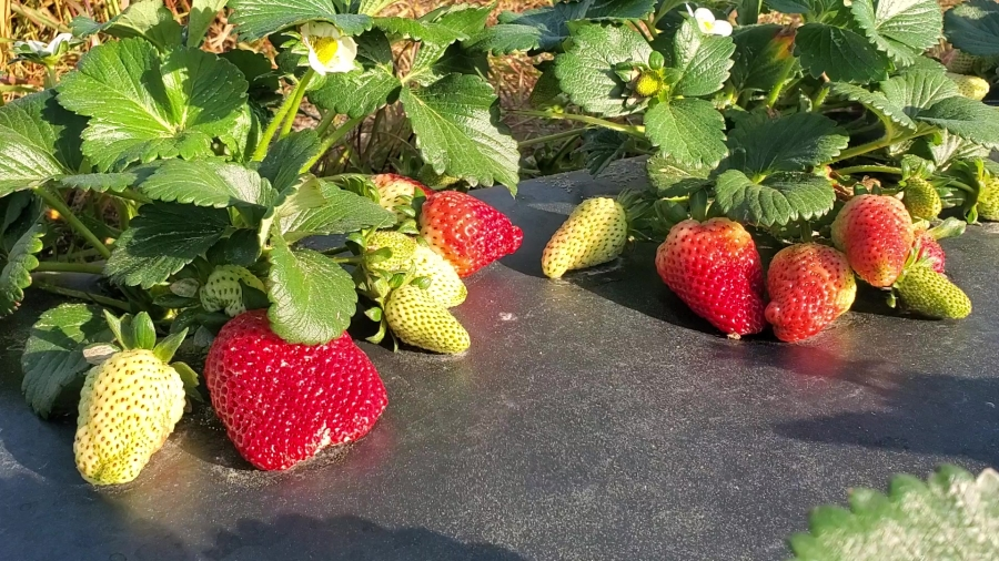 Lee Berry's strawberry crop was spared Wednesday morning's freezing temperatures.