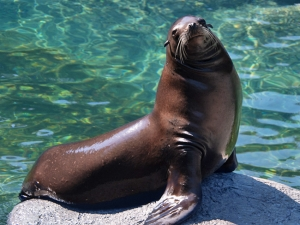 Diesel, a California Sea Lion that spend five years at the N.C. Zoo, died earlier this month.