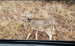 Deer near the roadside at Morrow Mountain State Park in Stanly County.