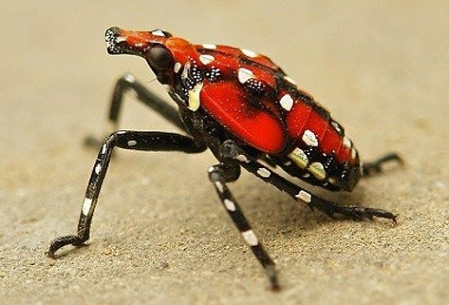 NC Ag Dept. officials urge residents to be on the lookout for spotted lanternfly this summer