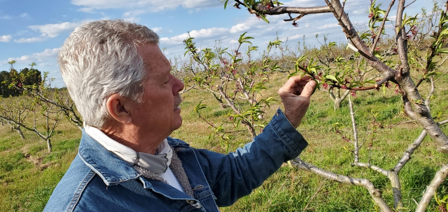 Jim Lambeth of Triple L Farms in Derby inspects his peach crop Thursday afternoon ahead of a forecast freeze.