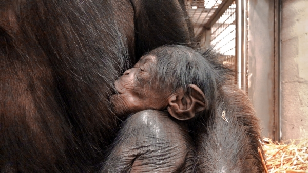 The N.C. Zoo announced this week the birth of a female chimpanzee. This is the fifth chimp born at the North Carolina Zoo since 2010 and the second in 2019