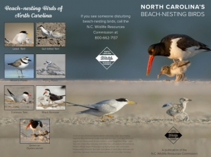 Wildlife Commission asks beachgoers to watch for nesting birds