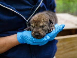 North Carolina Zoo announces birth of 5 critically wndangered American red wolves