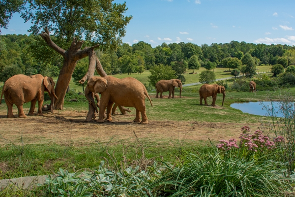 Elephants on Watani Grasslands, North Carolina Zoo.