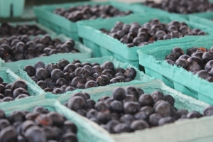 Ag Dept.: Record temperatures will affect quantity, not quality of blueberry crop