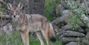 Coyote Pupping Season is Here: Stay diligent and know the deterrents