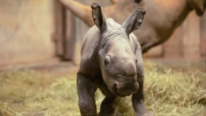 The North Carolina Zoo recently announced the birth of a second white rhino this year.