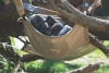 Gerre, a 20-year-old chimpanzee at the N.C. Zoo, rests in a hammock with her new baby, born in March.
