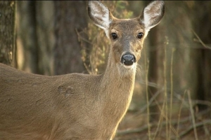 Traditionally, record numbers of deer-vehicle crashes occur in this season.