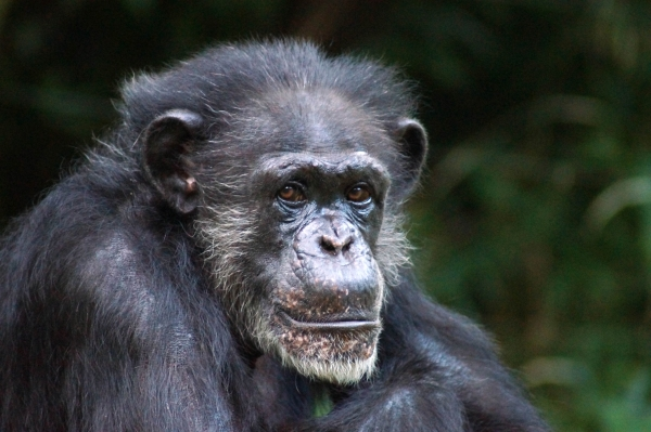 Maggie, the matriarch of the chimpanzee troop at the N.C. Zoo, died Friday at the age of 46.