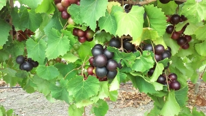 Chemical compounds in muscadine grapes effectively inhibit an important SARS-CoV-2 protease.