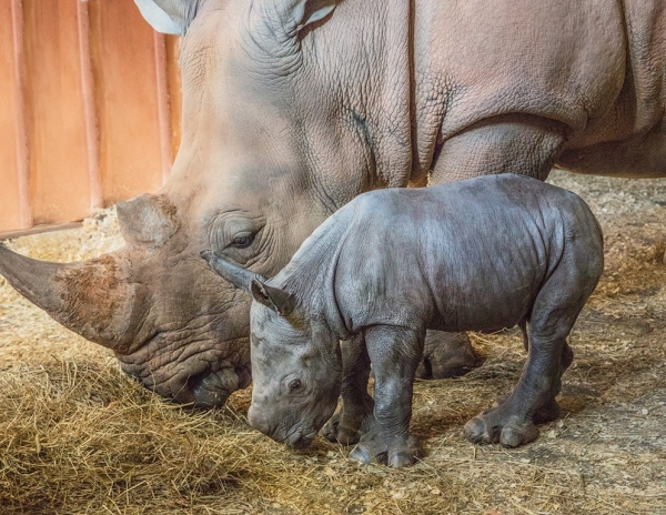 The N.C. Zoo recently announced the birth of its third southern white rhino in less than two years.