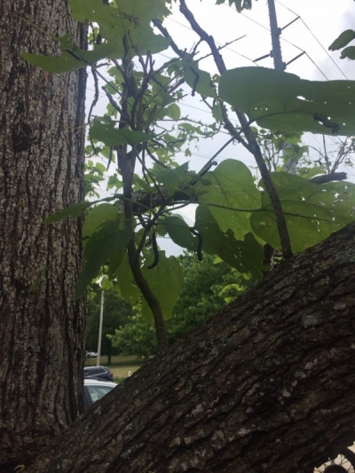 The Catawba Worm Tree: Part II